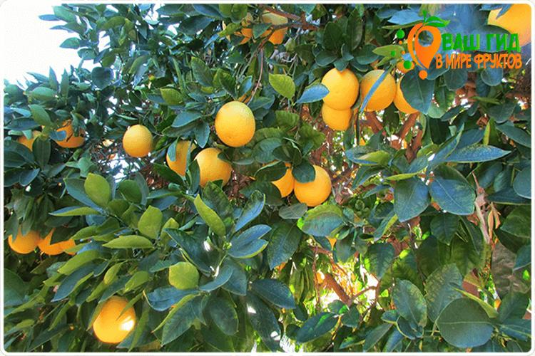 дерево грейпфрута