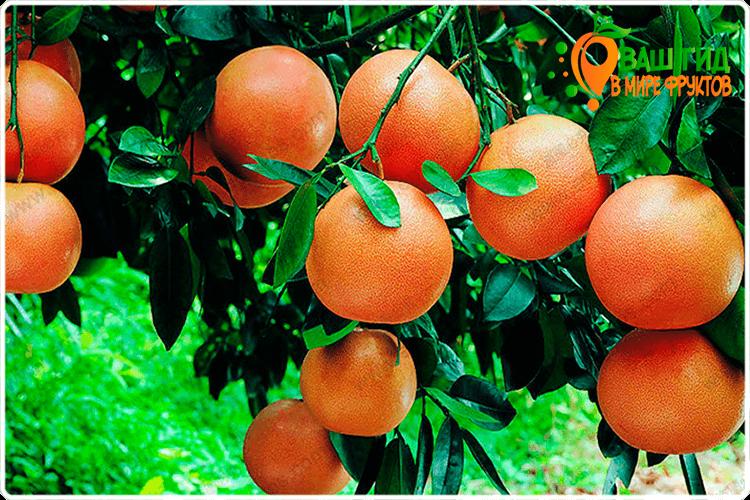 грейпфрут на ветке