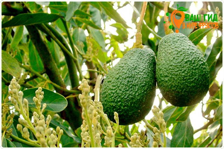 как растёт авокадо