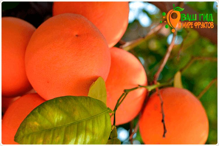как растёт грейпфрут
