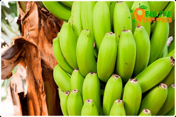 банан на дереве