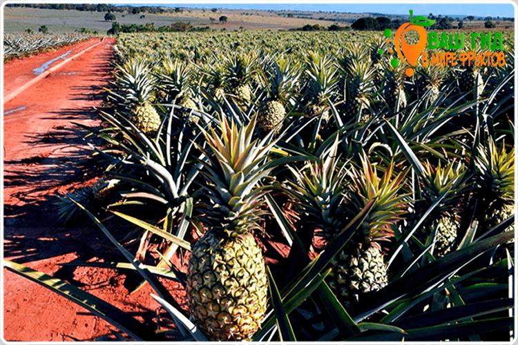 как ананас растёт