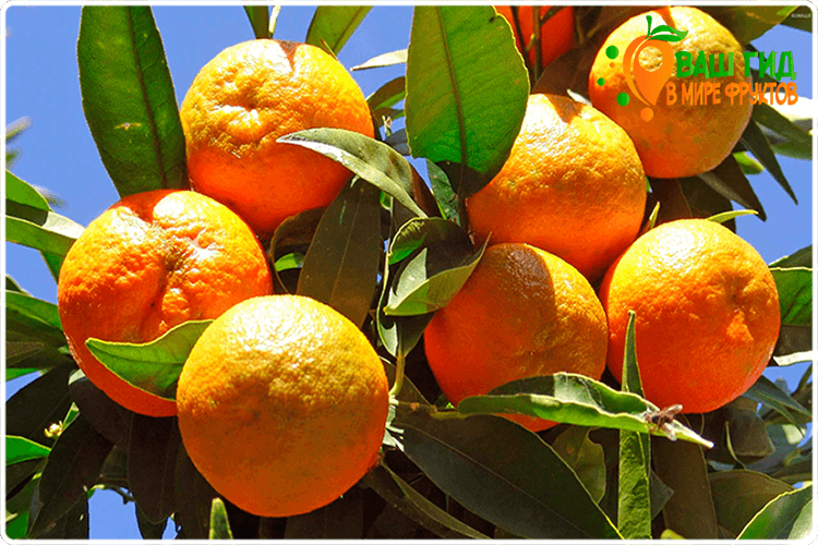 как растёт апельсин
