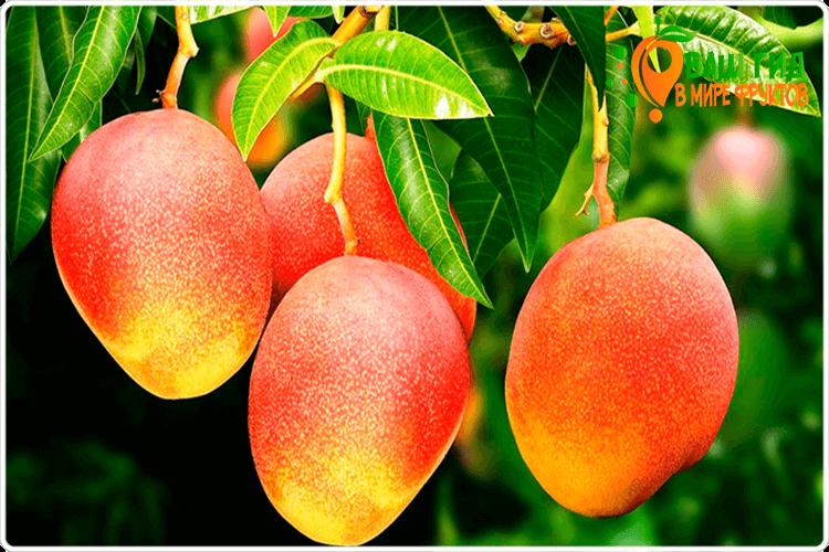 манго на кусту
