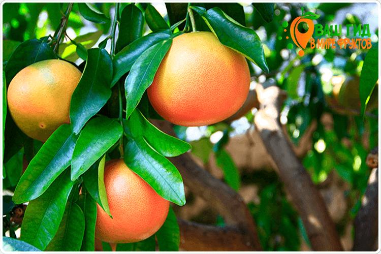 как растут грейпфруты