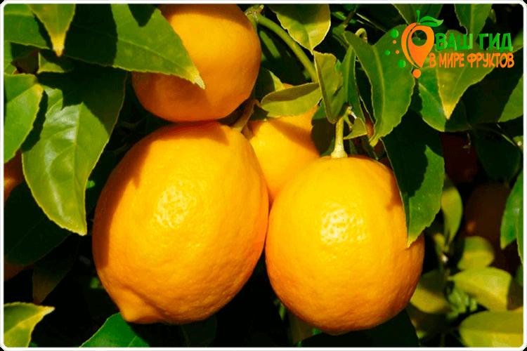 как растут лимоны