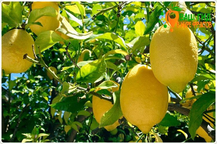 как растёт лимон