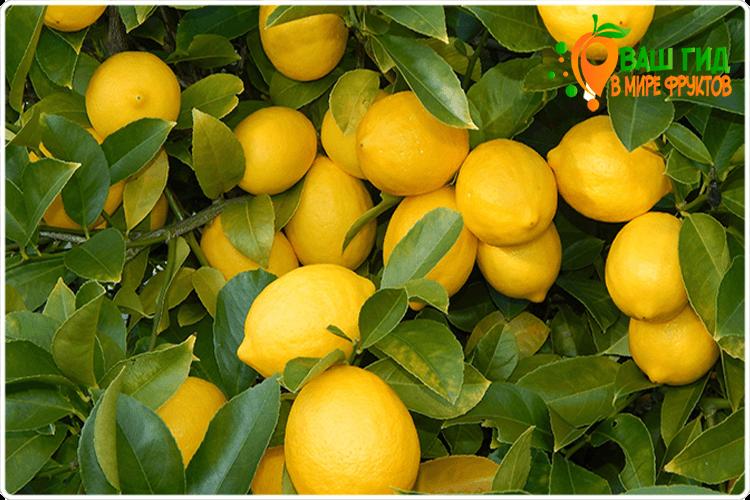 как растет лимон