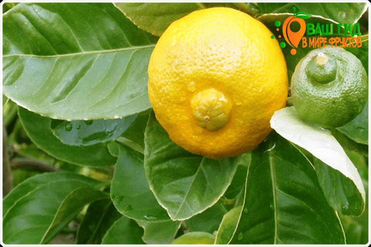 плод лимона на ветке